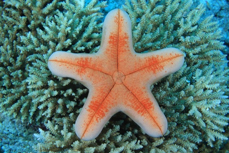 Sea star in the coral reef  Stock Photo
