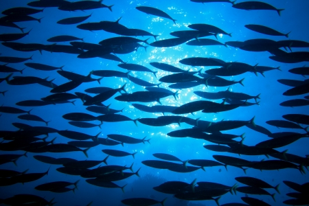 Shoal of fish  photo