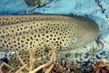 Zebra shark  Stock Photo - 16706935