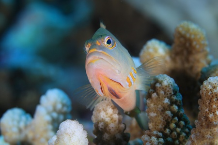 Arc-eye hawkfish  photo