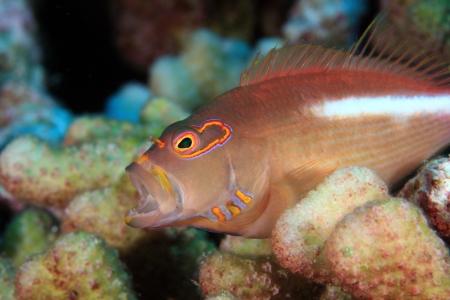 sealive: Arc-eye hawkfish