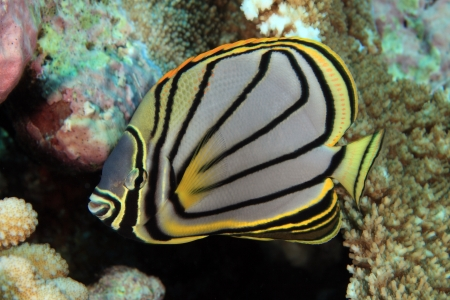 chaetodontidae: Scrawled butterflyfish Stock Photo