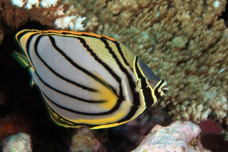 Scrawled butterflyfish Stock Photo - 16706928