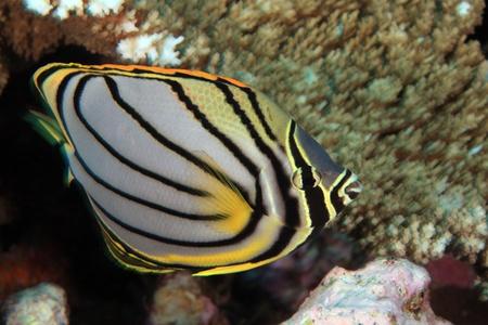 sealive: Scrawled butterflyfish Stock Photo