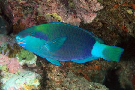 parrotfish: Daisy parrotfish in the coral reef
