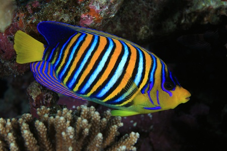Regal angelfish in the coral reef  Stock Photo - 16854167