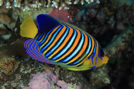 Regal angelfish in the coral reef  photo