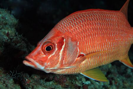 wildlive: Giant Squirrelfish in the coral reef
