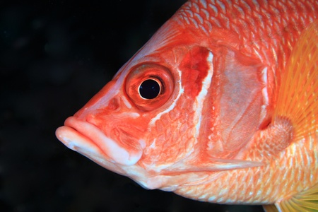 Giant Squirrelfish in the coral reef  photo