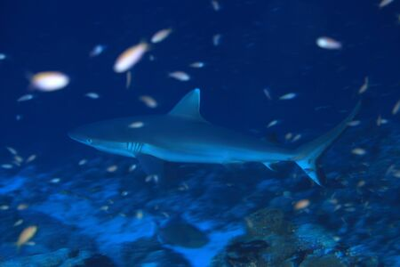 fining: Grey reef shark