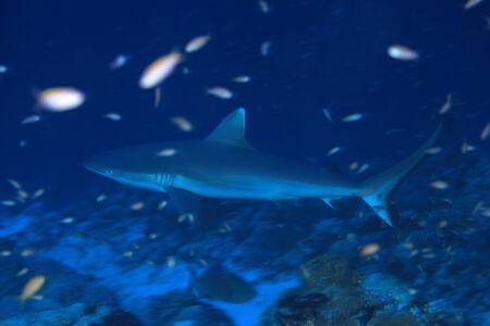 wildlive: Grey reef shark