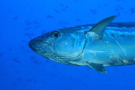 wildlive: Tuna fish