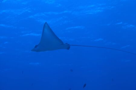 narinari: Spotted eagle ray
