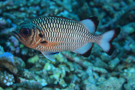 Shadow soldierfish  Myripristis adusta   Stock Photo - 17105401