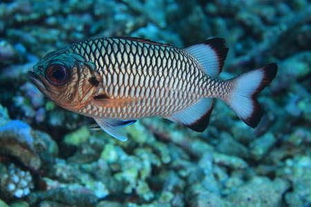 Shadow soldierfish  Myripristis adusta Stock Photo - 17105401