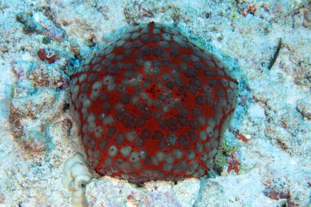 cushion sea star: Pin cushion sea star  Stock Photo