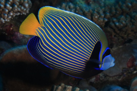 pomacanthus imperator: Emperor angelfish  Pomacanthus imperator  Stock Photo