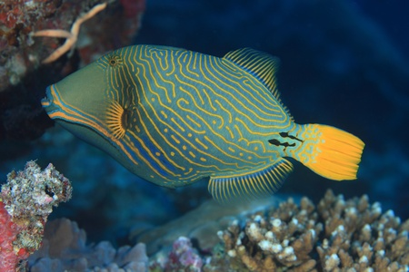 triggerfish: Orange-striped triggerfish  Balistapus undulatus  Stock Photo