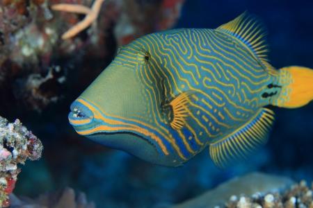 corales marinos: Naranja con rayas ballesta Balistapus undulatus