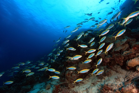 Shoal of fish in the coral reef photo
