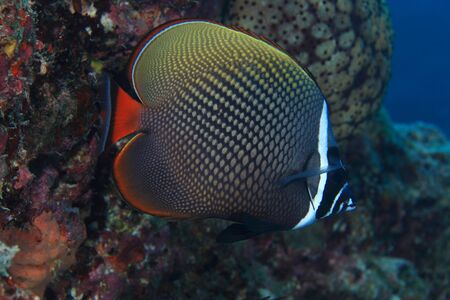 Redtail butterflyfish  Chaetodon collare Stock Photo - 17596017