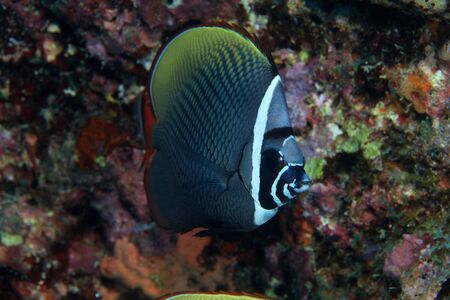 Redtail butterflyfish  Chaetodon collare  Stock Photo - 17595987