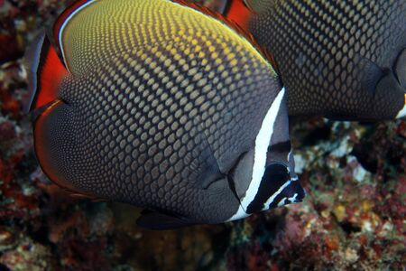 Redtail butterflyfish  Chaetodon collare  Stock Photo - 17596021