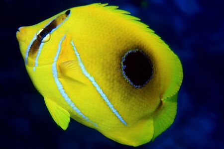 chaetodontidae: Bluelashed butterflyfish  Chaetodon bennetti  Stock Photo