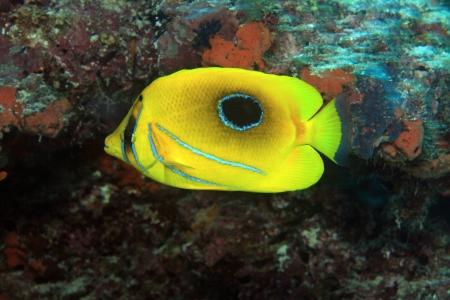 chaetodon: Bluelashed butterflyfish  Chaetodon bennetti  Stock Photo