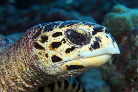 sealive: Hawksbill sea turtle