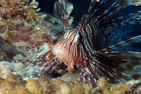 pterois: Common Lionfish  Pterois volitans  Stock Photo