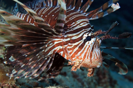 pterois volitans: Common Lionfish  Pterois volitans  Stock Photo