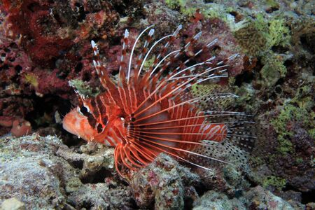 Broadbarred firefish  Pterois antennata  photo