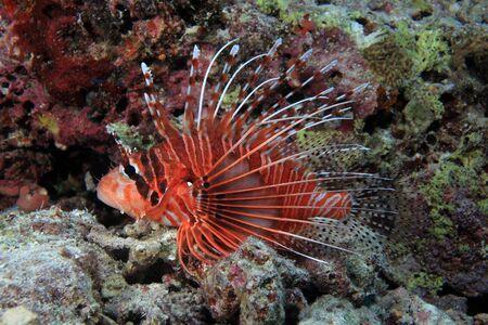 firefish: Broadbarred firefish  Pterois antennata