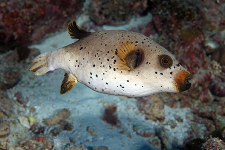 arothron: Black Spotted Puffer  Arothron nigropunctatus