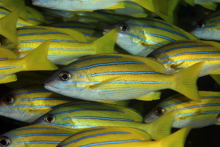 Bluestripe snappers  Lutjanus kasmira  photo