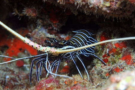 wildlive: Painted rock lobster in the coral reef