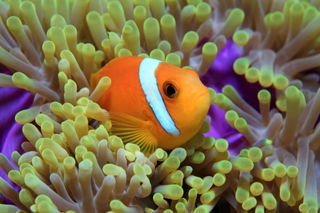Maldive anemonefish  Amphiprion nigripes  Stock Photo