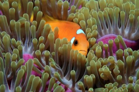 sealive: Maldive anemonefish  Amphiprion nigripes  Stock Photo