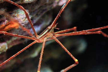 lanceolatus: Arrow crab