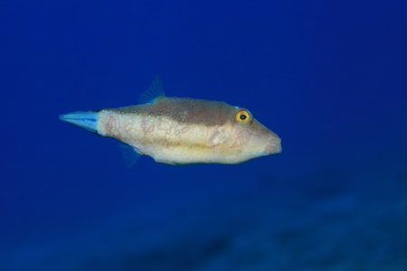 Sharpnose puffer   Stock Photo - 20439649
