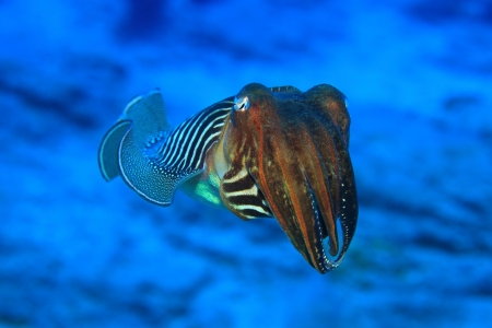 decapods: Common cuttlefish