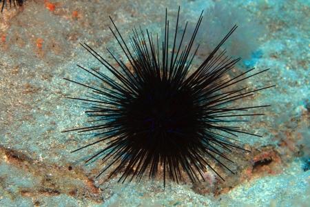 Black sea urchin