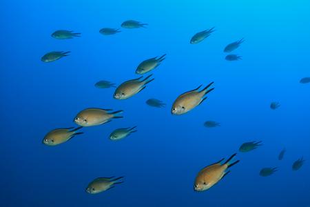 damselfish: Atlantic damselfish