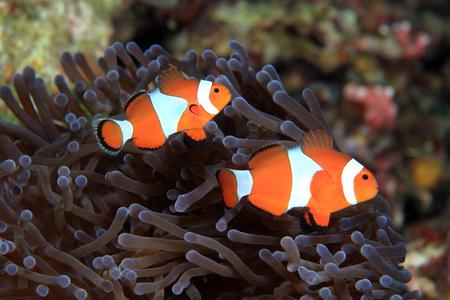 sealive: Clown anemonefish