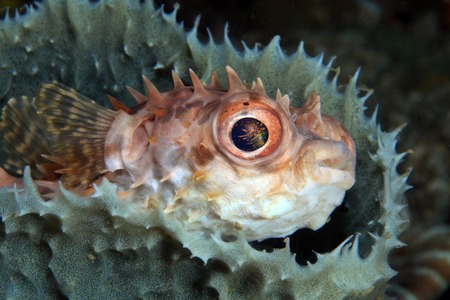 Shortspine porcupinefish  photo
