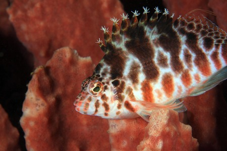 Spotted hawkfish  photo