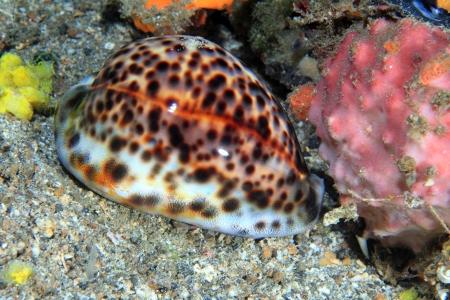 invertebrates: Tiger cowrie