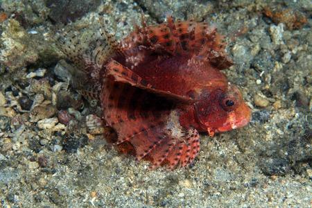 firefish: Shortfin firefish  Stock Photo