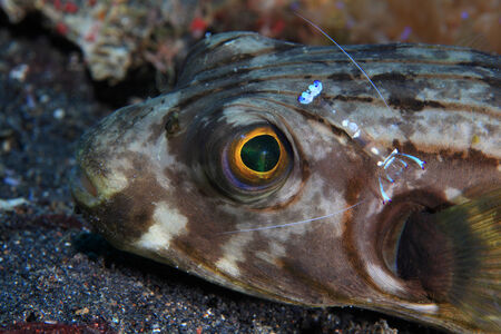 arothron: Narrow-lined puffer